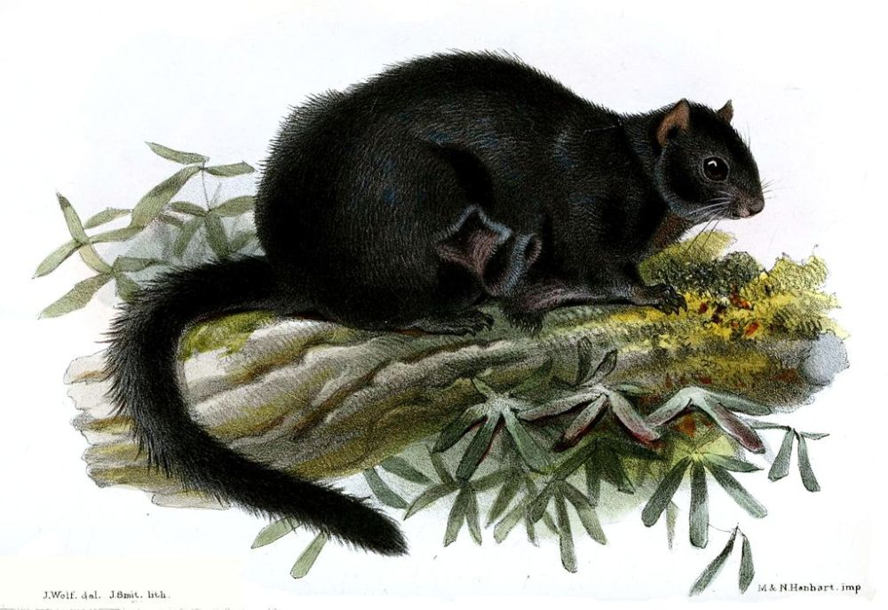 black flying squirrel1024px-PteromysTephromelasWolf