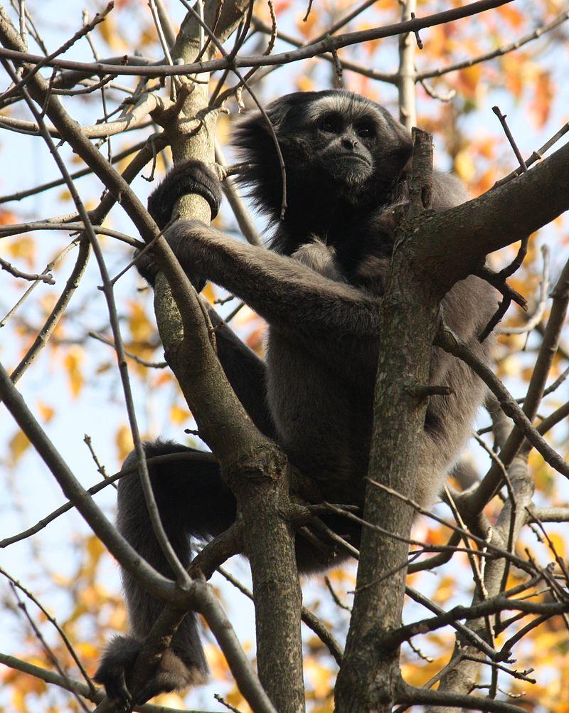Bornean gibbon800px-MuellersGibbon_HylobatesMuelleri