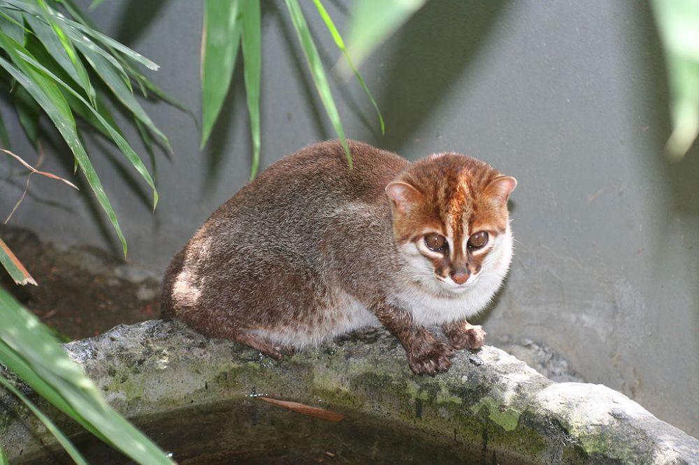 Flat-headed cat1024px-Flat-headed_cat_1_Jim_Sanderson