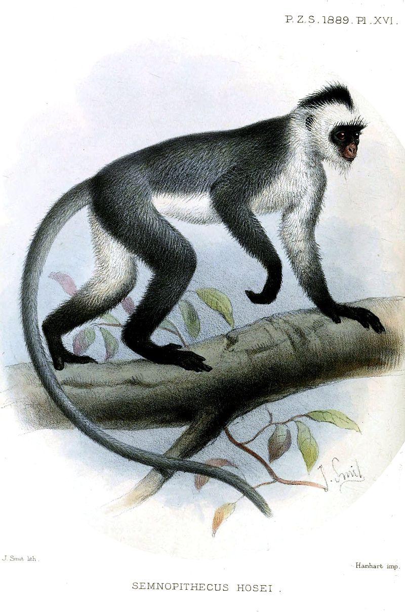 hose leaf monkey 800px-SemnopithecusHoseiSmit