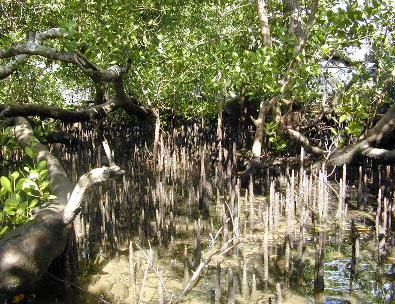 Mangrove_knees_Yap