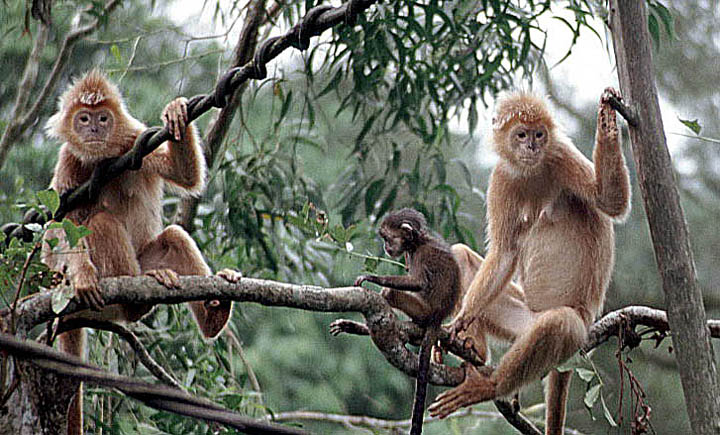 red langurs of Java Singapore