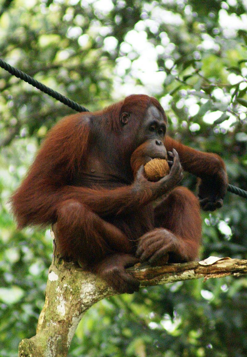Orang_Utan,_Semenggok_Forest_Reserve,_Sarawak,_Borneo,_Malaysia