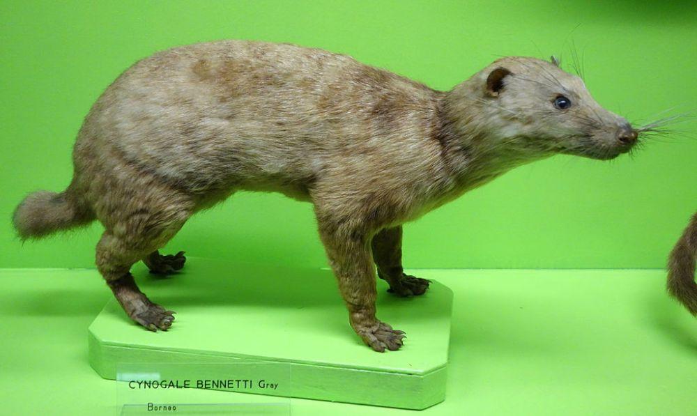 Otter civetCynogale_bennettii_-_Museo_Civico_di_Storia_Naturale_Giacomo_Doria_-_Genoa,_Italy_-_DSC02714