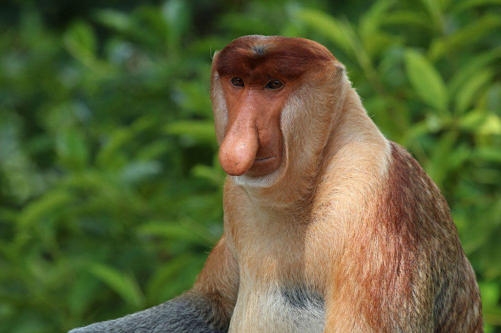 Proboscis_monkey_(Nasalis_larvatus)_male_Labuk_Bay_2